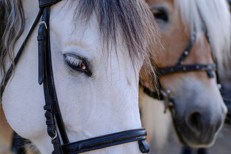 Eye and Muzzle of white horse. Portrait of horse with kind and sad look, with bridle. Animals detail. Close-up. Stock Photo