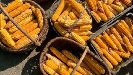 Corn is harvested and dried in sun in baskets and crates on backyard or agricultural farm. Soft focus. Top view.