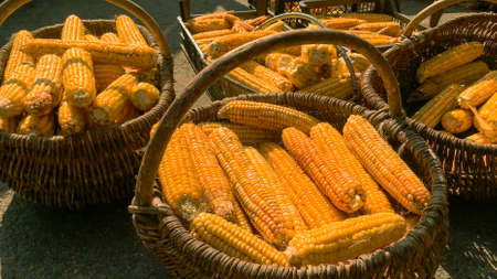 Corn is harvested and dried in sun in baskets and crates on backyard or agricultural farm. Soft focus. Close-up. Outdoors.