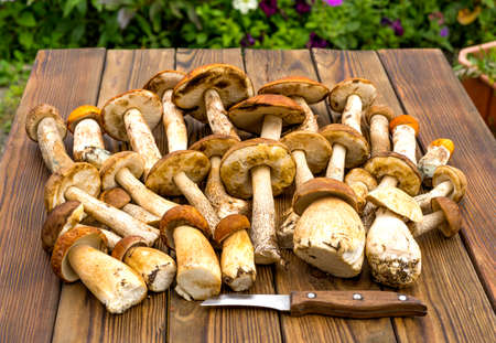 Autumn fall composition. Various raw edible boletus mushrooms leccinum on rustic table with knife. Ceps over wooden dark background. Cooking delicious organic mushroom gourmet food. Flat lay top view