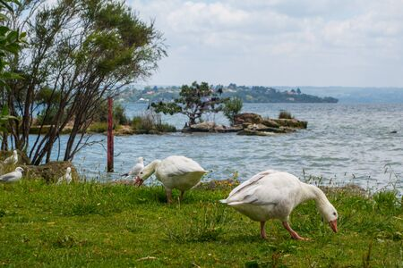 Geese at Hatupatu Scenic Point, Rotorua, New Zealand