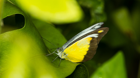 green butterfly: Yellow butterfly on green leaf