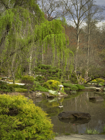 Weeping Willow - Japanese Garden Stock Photo