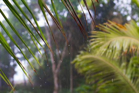 palm frond: Rain Dripping From Palm Frond