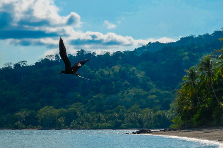 forked tail: Frigatebird Flying over Beach