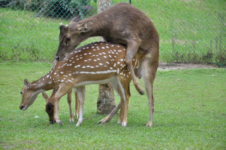 animal mating: deer mating