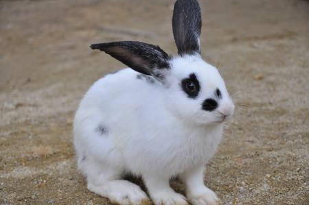 lagomorpha: black dot rabbit