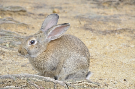 lagomorpha: single brown rabbit sitting on the root