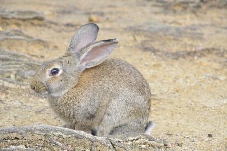 lagomorpha: single brown rabbit sitting on the root