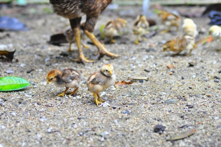 feeding frenzy: feeding frenzy hen and its babies Stock Photo