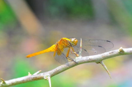yellow dragonfly on rose stem photo