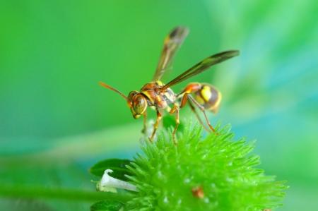 A Cicada killer wasp on a green flower Archivio Fotografico