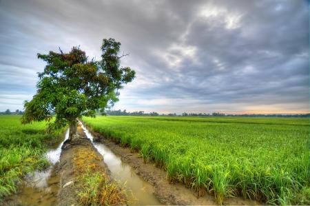 paddy field: Tree in paddy field
