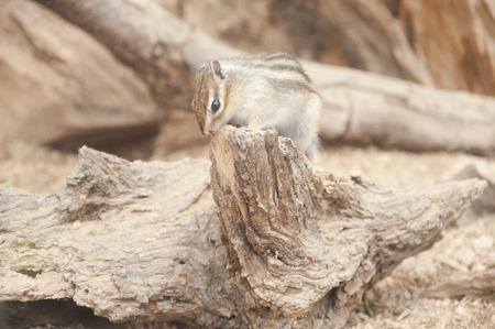 The Golden Mantled Ground Squirrel  Callospermophilus Lateralis   photo