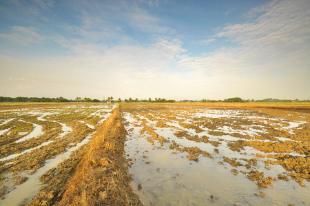 replanting: The paddy field prepared for replanting