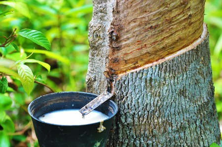 Rubber latex of rubber tree. 免版税图像