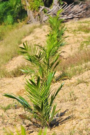 replanting: replanting palm oil tree. Stock Photo