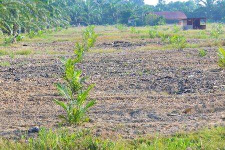 oil tree: replanting palm oil tree. Stock Photo