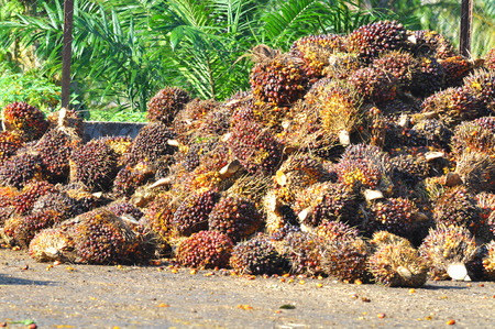 red palm oil: harvested palm oil fruit bunch. Stock Photo