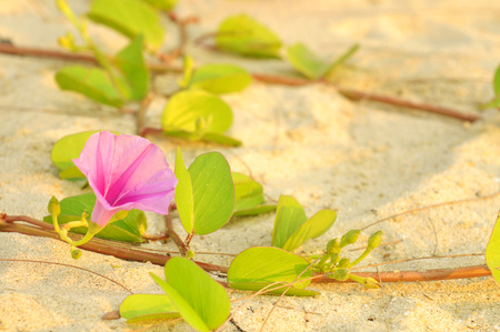 morning glory family: Ipomoea pes-caprae, known as bayhops, beach morning glory or goats foot, is a  pantropical creeping vine in family of Convolvulaceae. It grows on the upper parts of beaches and endures salted air