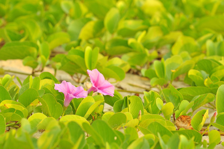 Ipomoea pes-caprae, known as bayhops, beach morning glory or goats foot, is a  pantropical creeping vine in family of Convolvulaceae. It grows on the upper parts of beaches and endures salted air