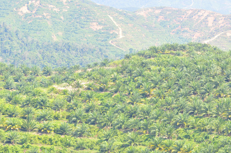 replanting: View of replanting palm oil plantation at the hill. Stock Photo