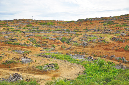 replanting: Deforestation and replanting of young oil palm tree.