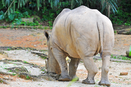 northern african: white rhinoceros, ceratotherium simum eating grass at the zoo.