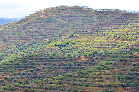 replanting: soft focus of view from far replanting oil palm tree at the hill side.