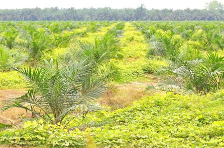 replanting: replanting oil palm tree at the estate using block method