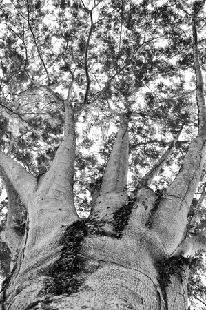 tree canopy: Big tree canopy with clouds and sky in black and white. Stock Photo