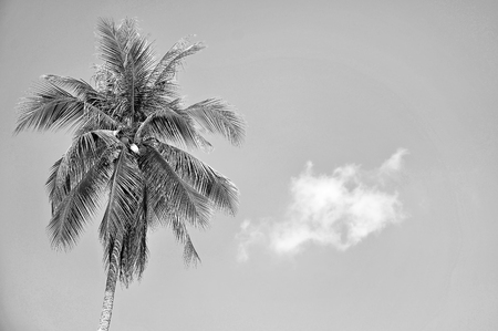 space   area: Coconut Tree in black and white With Copy Space Area