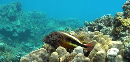 snorkelers: Black-spot Hawkfish, Honolua Bay, Maui                                      Stock Photo