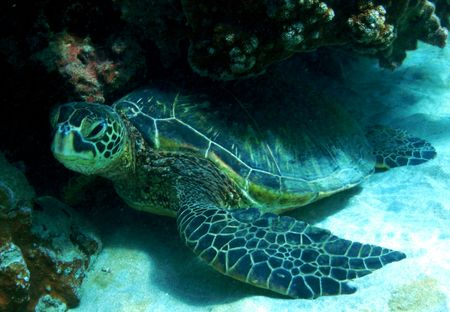 Green Sea Turtle, ahihi Kinau, los vertederos, Maui