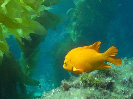 alga marina: Garibaldi en algas marinas