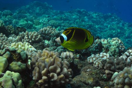 marinelife: Raccoon Butterflyfish at Molokini, Maui