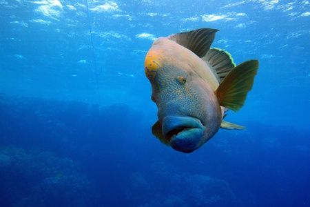 napoleon fish: In the depths of the Red Sea Stock Photo