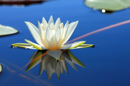 White water lily Stock Photo - 10474111