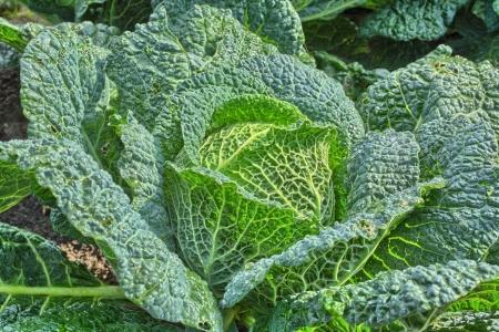 savoy cabbage: Savoy cabbage Stock Photo