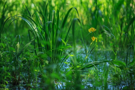 Yellow flower in a sedge