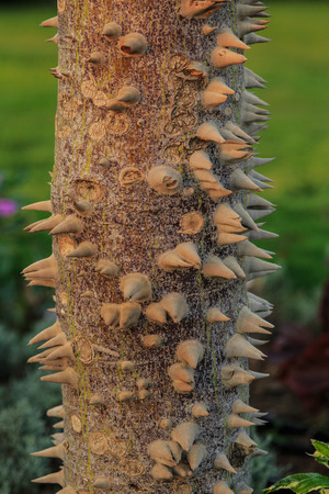 The silk floss tree photo