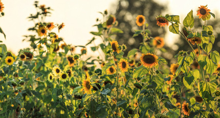 late summer: Sunflowers in late summer