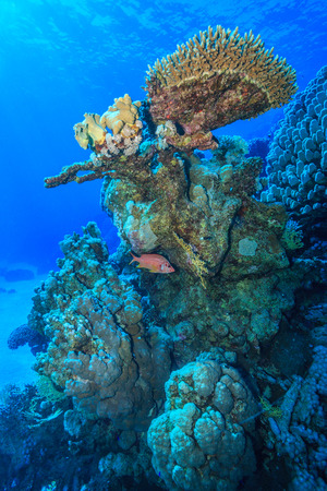 coral colony: coral reef