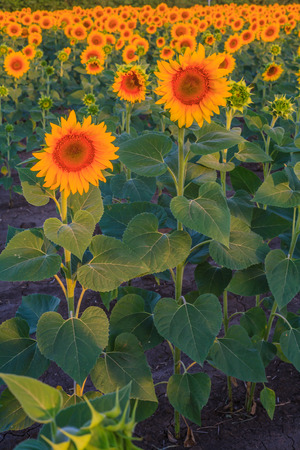 Sunflowers in the field at sunrise
