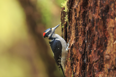 woodpecker: Woodpecker in the forest