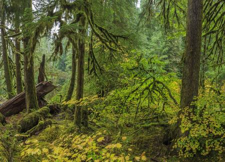 Hoh Rainforest, Olympic National Park, Washington state, USA Stock Photo