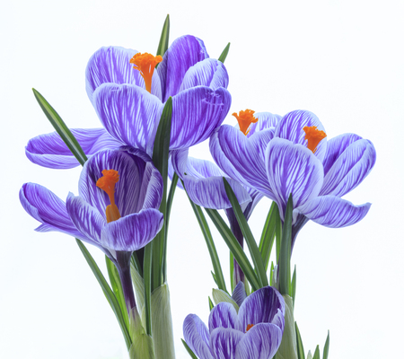 spring crocus Standard-Bild