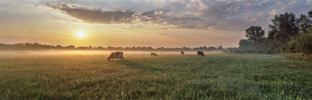 Panorama of grazing cows in a meadow with grass covered with dewdrops and morning fog, and in the background the sunrise in a small haze. Standard-Bild