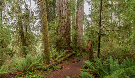 Quinault Rainforest, Olympic National Park, USA