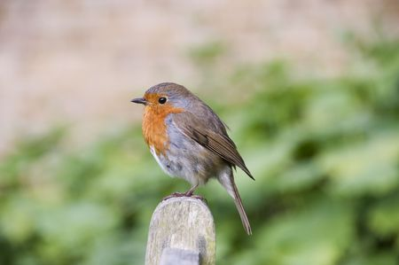 Robin Stock Photo - 4252642
